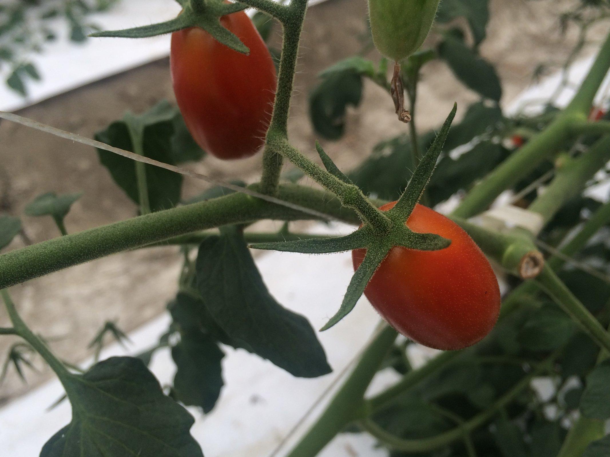 屏東九如 范大姊小番茄