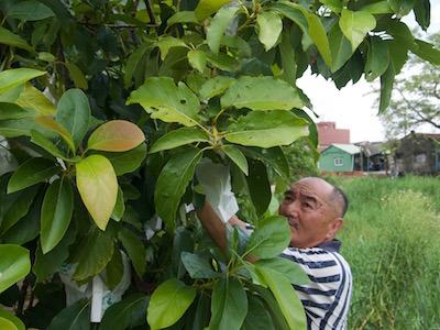 台南鹽水 郭伯的傳家酪梨