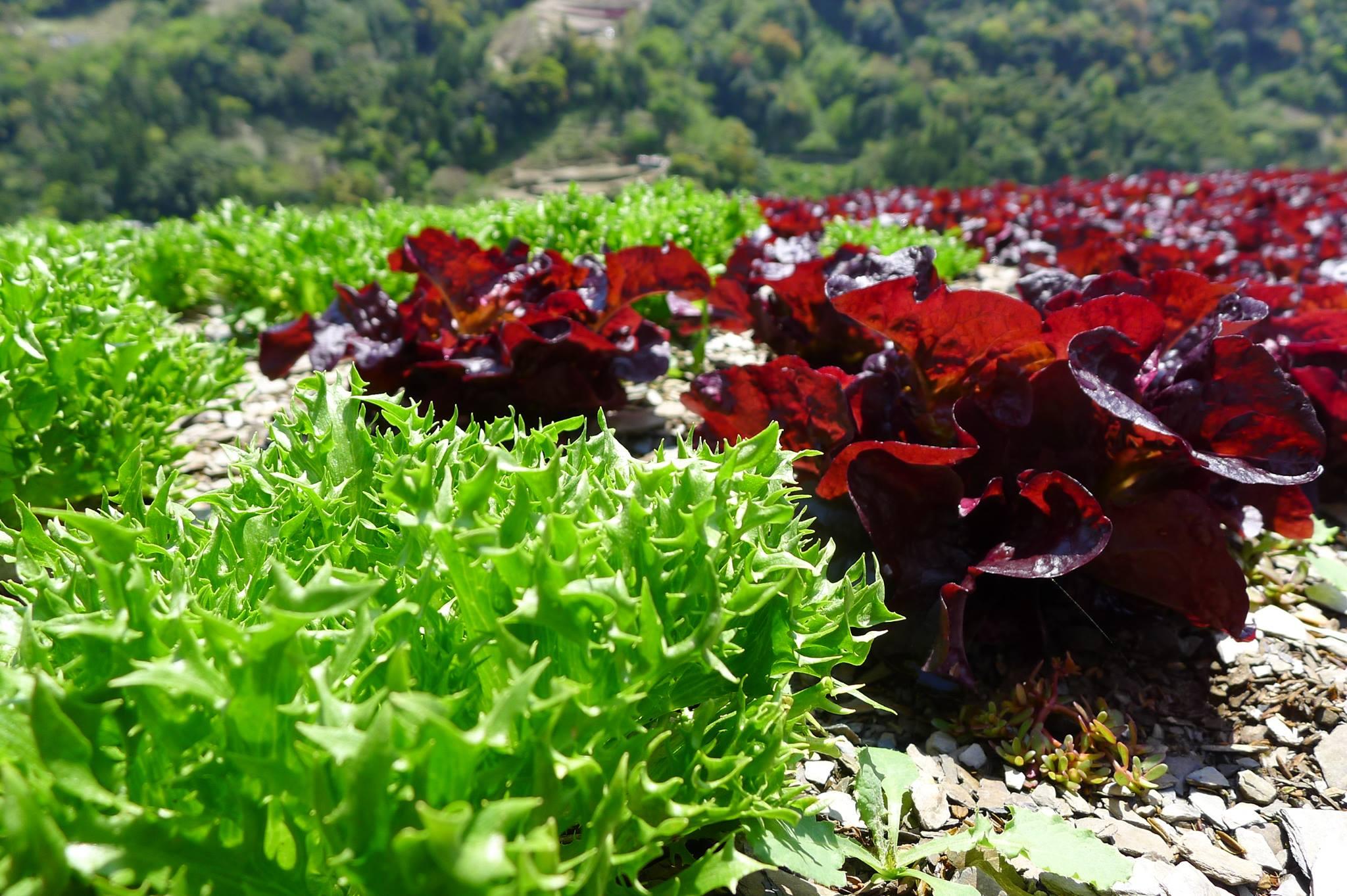朵多綠生菜農場