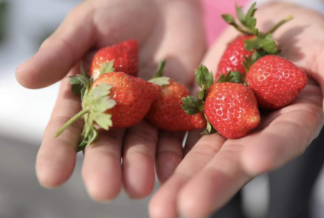 愛在甜心友善草莓