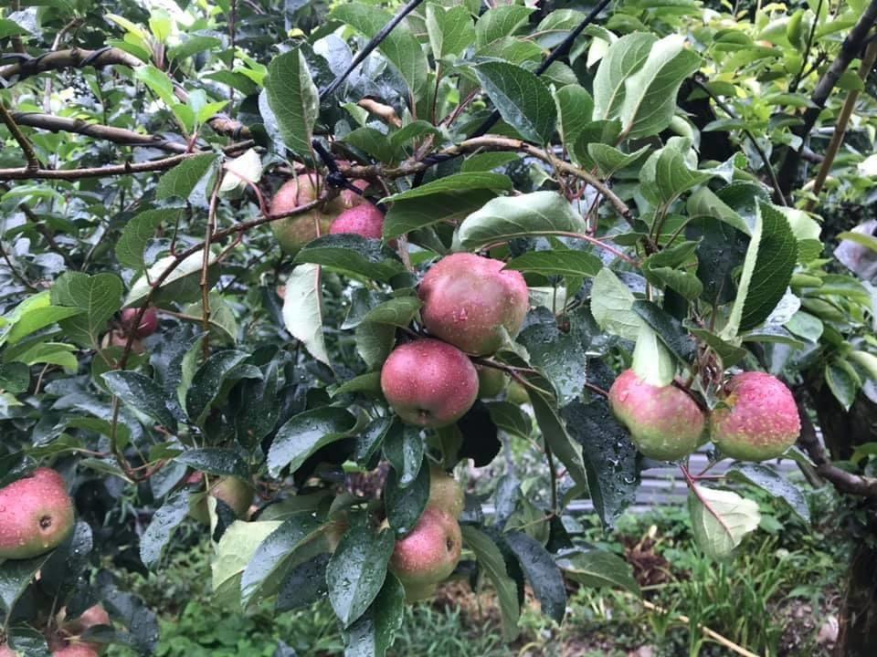 梨山許家蘋果園