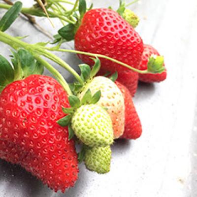 青農有機草莓園